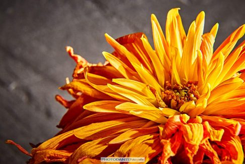 Oranje beetje verlepte dahlia op een leisteen achtergrond